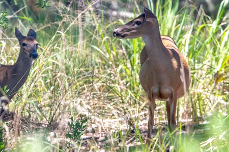 white tail doe deer in forest