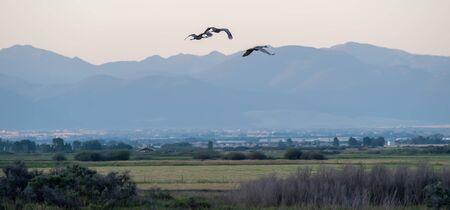 crane in flight over fields of montana