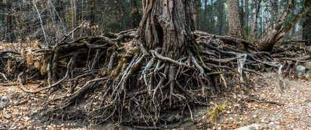 enormous tree and roots by the river