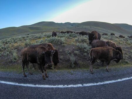 American Bison Grazing by Roadside With Passing Cars Zdjęcie Seryjne