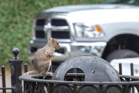 squirrel picking trash in a city 版權商用圖片