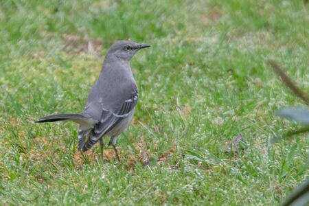 mocking bird eating bugs from the driveway in the rain