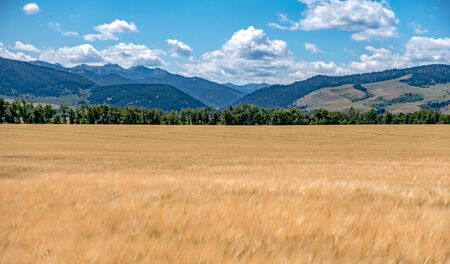 wheat field ready for harvest in montana mountains Banco de Imagens