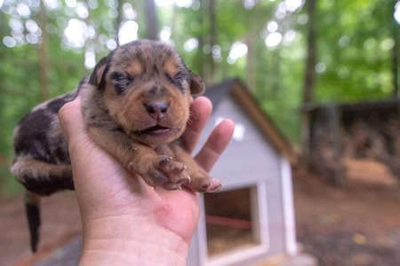 week old newborn terrier puppies browsing around the doghouse 版權商用圖片 - 153170876