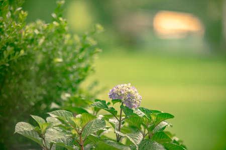 Hydrangea summer flowers after rain in fog 版權商用圖片