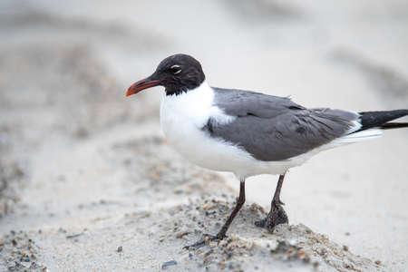 seagull wondering around fort fisher beach north carolina 版權商用圖片 - 153310034