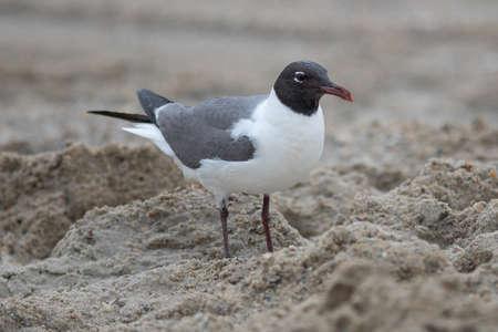seagull wondering around fort fisher beach north carolina 版權商用圖片
