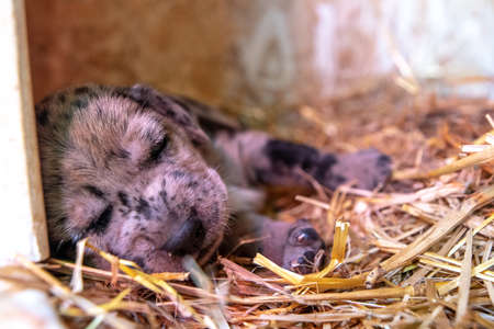 week old newborn terrier puppies browsing around the doghouse 版權商用圖片 - 153271172