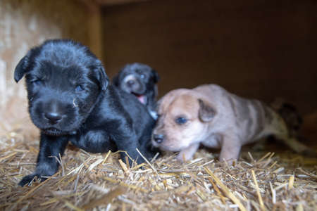 week old newborn terrier puppies browsing around the doghouse 版權商用圖片 - 153170398
