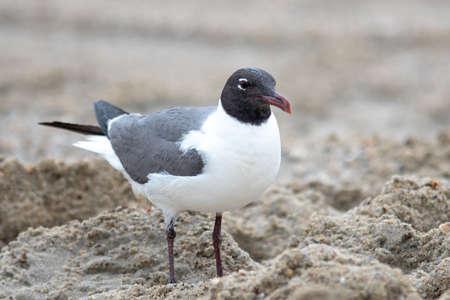 seagull wondering around fort fisher beach north carolina 版權商用圖片 - 153310416