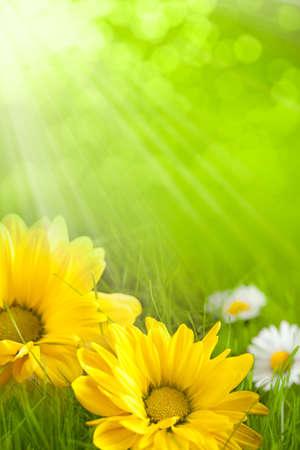 花の背景 - 黄色し、白い花 写真素材