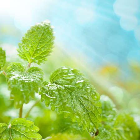 menta: Las hojas frescas con gotas de agua sobre fondo azul