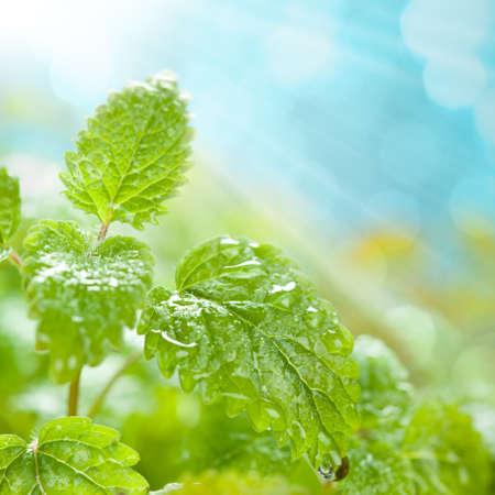 Verse bladeren met water druppels op een blauwe achtergrond Stockfoto