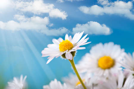 Spring flowers - daisy on blue sky background photo