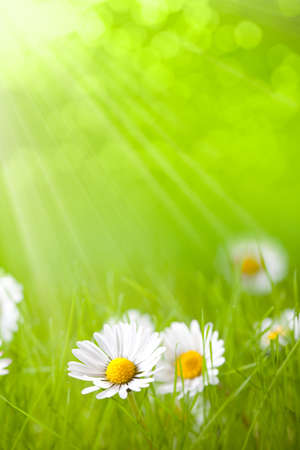 Summer flowers - daisy on green background Stock Photo - 10472005