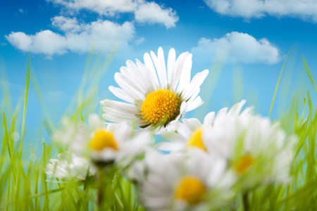 Spring flowers - Beautiful daisy on blue sky background photo