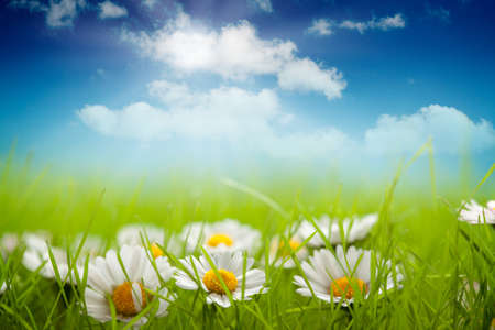 spring flower: Summer background - field of daisy and blue sky