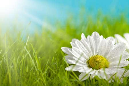 campo de margaritas: La naturaleza de fondo - hermosa flor en campo verde Foto de archivo