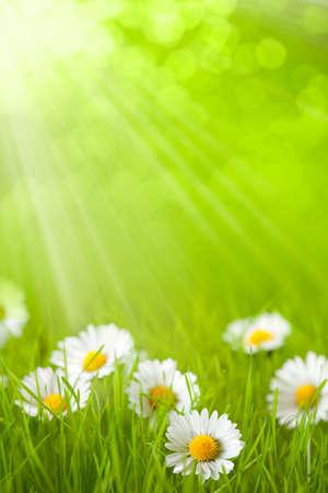 sol radiante: Campo de primavera - margarita en el c�sped Foto de archivo