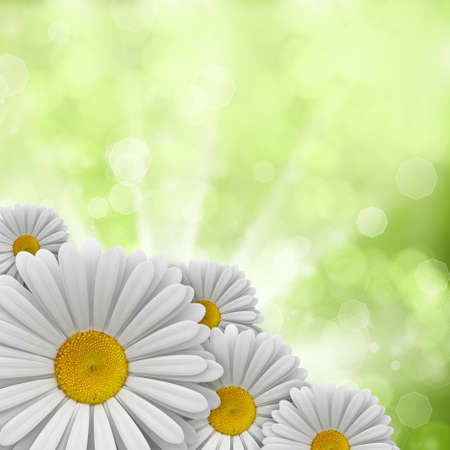 Daisies on green background photo