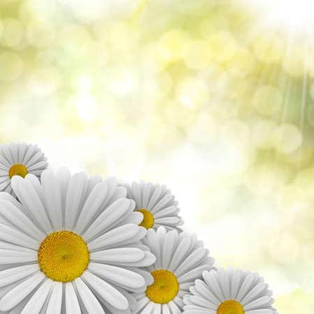 Nature background - perfect daisies photo