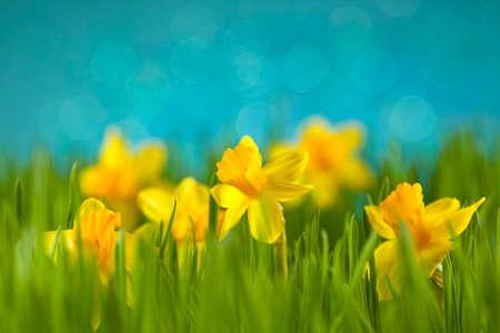 daffodils: Daffodils on the meadow