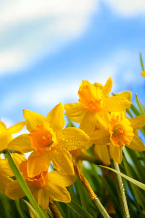 jonquil: Yellow daffodils in the meadow