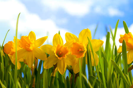 jonquil: Yellow daffodils in the meadow and blue sky background Stock Photo
