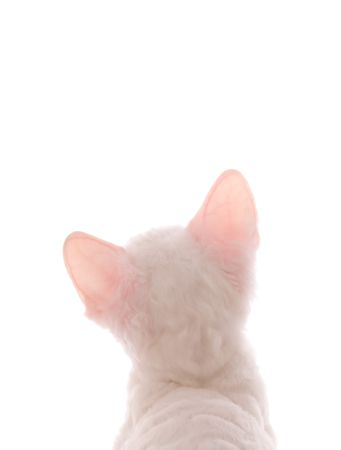 White Kitten Looking at You Image or Text  photo