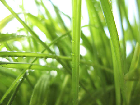 Green Grass in Dew Drops Stock Photo - 6701841