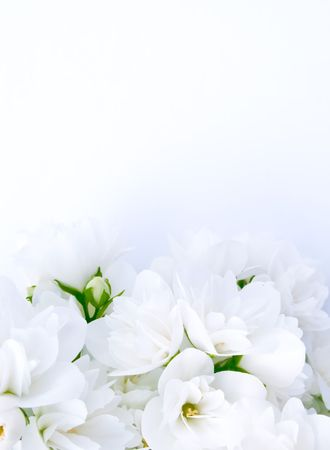 Jasmine Background Stock Photo - 6701836