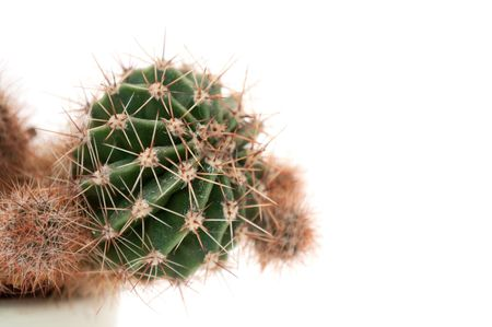 mature mexican: Cactus Stock Photo