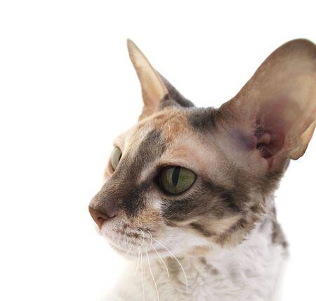 cornish rex: Curious Cornish Rex Cat