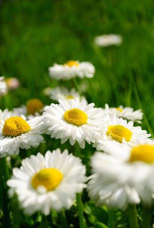 margriet: Mooie Marguerite Daisies in Grass  Stockfoto