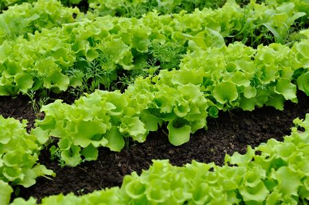 Lettuce Bed Stock Photo