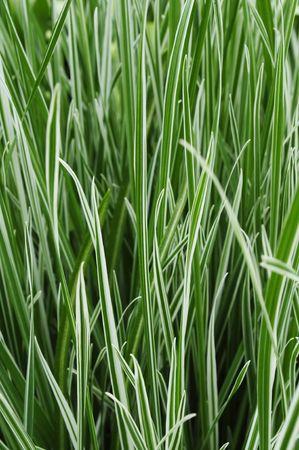 carex: Ornamental Grass Carex Stock Photo