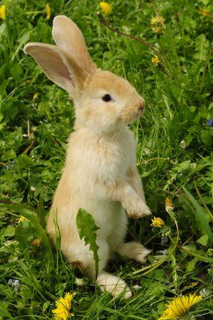cute rabbit: Lindo conejo permanente on Hind Legs