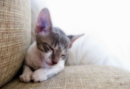 dozing: Cute Dozing Cornish Rex Kitten