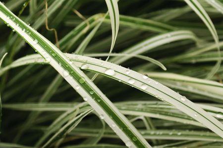 carex: Ornamental Grass Carex with Dew Drops