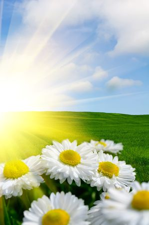 field of daisies: Sunlit Daisies Stock Photo