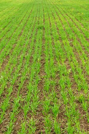 Green Sprouts of Wheat photo