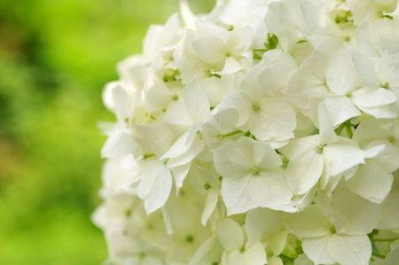 airiness: White Hydrangea Stock Photo