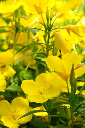 Evening Primrose (Oenothera) Stock Photo - 7311231