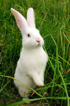 hind: Cute White Rabbit Standing on Hind Legs Stock Photo