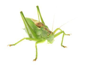 Grasshopper Stock Photo - 7377647