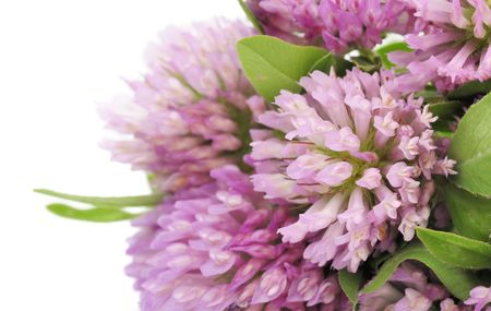 Red Clover Stock Photo - 7561457
