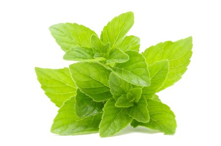 medicinal: Fresh Mint Stock Photo
