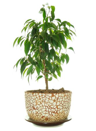 Weeping Fig (Ficus Benjamina) in Pot photo