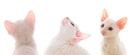 Cute White Cornish Rex Kittens photo