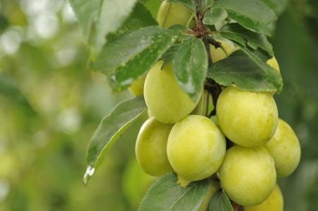 Cherry Pruimen op Tak Stockfoto
